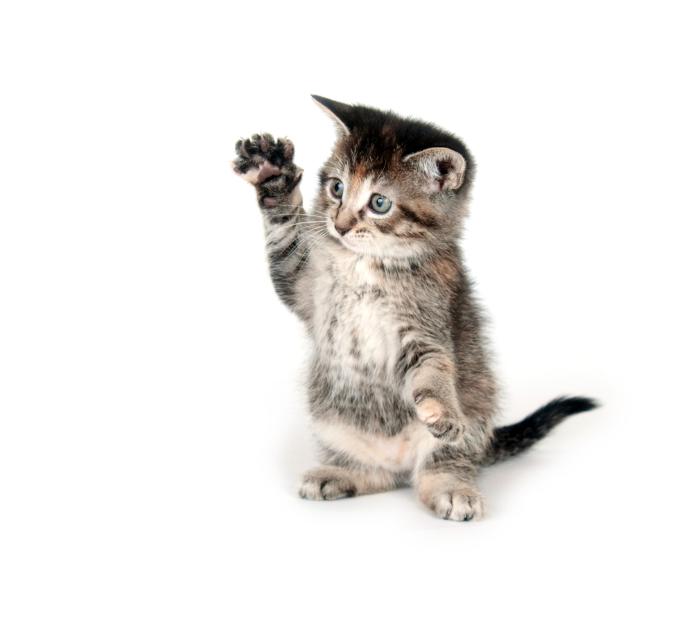 Katze, Tier Zubehör, petshop, Tierzubehör kaufen, katzenbaum