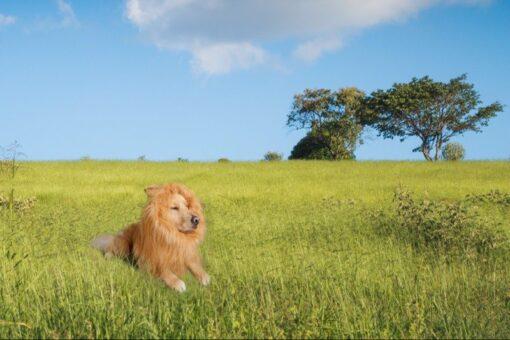 Löwenmähne für Hunde